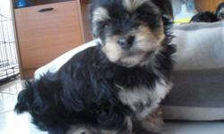 Adorable Morkie Puppies 2 males and 1 female ( Maltese dad 7 lbs, yorkie mom 9 lbs ) Adorable blk/tan desinger hybreds. Morkies make wonderful house pets as they are small and non shedding. They are also good with children. Absoulutly adorable. Super