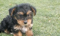 Morkie Puppies - Black/tan or black/gold or solid black. tiny toys or regular toy size. Shots, dewormed. Health Guaranteed. Puppy pack included. $450.00 cash only. Sorry no shipping . Serious inquires only. 561-996-4827