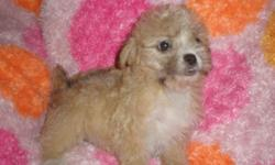 Morkie puppies 9wks old, beautiful colors available from bright apricot, white or traditional black and tan, all pups have fluffy allergy friendly fur, great little house pets. Paper training started! Very social and loving breed, also great with kids.