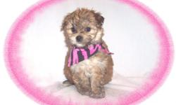 This baby girl is a gem. She is sweet and playful. She is a Yorkie and a Maltese mix. She is ready for a new family to love.She is micro chipped.She comes with her first series of shots, wormings and a Vet Health Certificate. She also comes with a