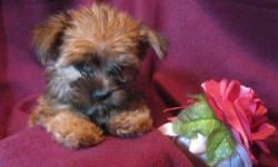 1 Female Morkie born on 7-3-11. UTD on shots and comes with a health warranty. *?* Credit Cards Accepted (Visa/MasterCard??????) ** No Credit Check Financing Available (Please Inquire) ** Shipping Available For More Info Call/Text: 262-994-3007????