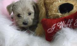"""Morkie pups. """" Little Darlings"""",I have been breeding for almost 28yrs now and take much pride in our pups.all pups are vet ckd,shots and dewormed and are very well socialized.I have pups available Nov.15th -X-mas.all pups are homebred ,We also have"""