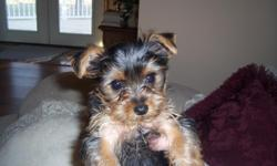 Our Morkie boy has personality plus besides being soooooooooo cute! He has been raised in our home and is now ready to be adopted. call Mary 812-644-7968 Mastercard & Visa accepted