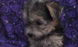 MORKIE PUPPIES: Designer pups Parents on premisis. Dad is a 4 lbs Maltese, Mom is 6 lbs Yorkie. Healthy and outgoing puppies, get along with other pets. Colors: Black/Gold and Golden. Cute, Sweet and Tiny pups, Males and Females available. For more pics