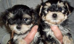 Hi we are a bunch of cute boy's,I mean cute! Our dad is a Akcyorkie,our mom is a Akcmaltese so we are cute ckc morkies we were born 9-17-12 utd on shots and wormings,and are ready to go home with you now. we are 325.cash please.check us out