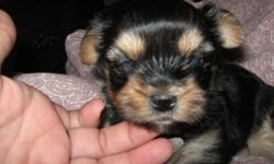 Male puppy, Black with gold and blue mkgs. Father, Yorkie and Mother, Maltese. Both AKC reg. Beautiful ,10 weeks old, first shot, and worming provided.