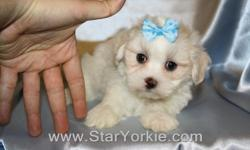 Congratulations ? you have found the best place in the country to get your new teacup puppy.   The Star Yorkie Kennel brings you the best selection of teacup puppies and assures you will be happy with your new baby.   The puppies we carry