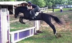 Dk bay 8yo TB gelding 16'1hh no bad habbits any one can ride has hunted and schooling shows and good on trails bay mare 7yo 15'1 great with kidds has hunted and pony club stuff good jumper great on trails no bad habbits