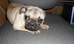 MS. PUGGUMS is a well-mannered young lady who loves to be held. She is a real lap puppy and will make a fine companion and she gets along well with other animals. She was born June 6, 2010. If you can give her a loving home, please call 706-397-8120.