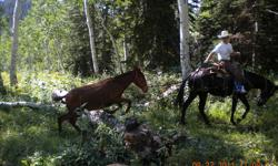 TS MULES specializes in training top quality saddle mules for mountain and trail riding. Services we offer include colt starting, problem solving, tune-ups, conditioning, weanling and yearling programs, packing, as well as custom training programs to fit
