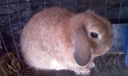 My beautiful, tan, pure bred HOLLAND LOP bucks are ready to breed with your doe(s). To arrange a time for them to meet, please call me between 9 AM & 8 PM. $5.00 fee is per breeding session or until your doe takes. Cash only please.
