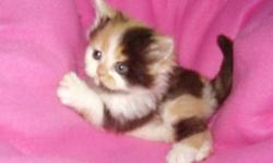 Looking for a calico kitten for christmas