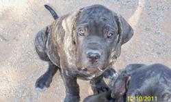 WE HAVE 4 FEMALE AND 3 MALES BLACK AND BRINDLE. THESE PUPS ARE READY FOR THEIR FOREVER HOMES. MOTHER IS FULL BREED FILA BRASILEIRO 140LB BLACK WITH WHITE MARKINGS AND FATHER IS FULL BREED NEAPOLITAN MASTIFF 140LB BLACK WITH BRINDLE MARKINGS.