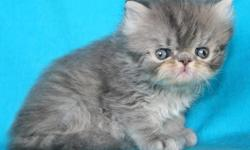"Lovely, playful Exotics kittens - born on 06/29/2010. It is also known as the ""Lazy Man's Persian"" because they have luxury of Persian look and requires less grooming. Elite bloodlines from Europe. PKD DNA Negative and CFA Registered cattery. Site:"