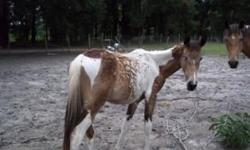 This little filly is real flashy.She is being sold as a grade horse. Both parents are her on premises. They are reg. with APHA. They can be reg. with additional money. Mom is a buckskin paint and dad is a black and white. She is haltered and leads. real