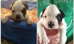 Nkc american bulldog very bully and great bloodlines. Only 1 female left! She will be ready just in time for Christmas! --