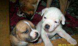1 male, 8 females ready to go now: 7wks old. 1st shots,wormed,health cert. and 1yr health guarantee. 5 all white with a few fawn spots 4 all fawn/white with a black mask These are the standard type American Bulldog. $350.00 Will meet at a reasonable