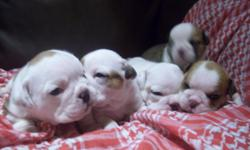 Gorgeous NKC English Bulldog puppies. Puppies will be ready in 3 weeks and at that time puppies will have their first set of shots, vet check for buyer assurance, and given a puppy kit. If interested call 256 468-3353 to place a deposit. ONLY SERIOUS