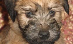 Well socialized, litter box trained, registered soft coated wheaten terrier puppies. Ready to go January 15. Shipped to airport of your choice