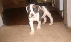 NOW TAKING DEPOSITS!!!!We have 4 pure bred American Bulldog puppies, 2 males and 2 females, born on 11-21-2010, puppies will be ready for there new homes on 1-16-2011, comes with 1st round shots, NKC papers, and 1 year health guarantee, mother & father on