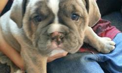 OLD ENGLISH BULLDOG FEMALE BLUE Bridle WITH BLUE EYES&; FULL BLOODEDFOR MORE INFO CALL 5616883974 OR 5616883974