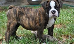 PUREBRED OLDE ENGLISH BULLDOGGE PUPPIES BORN 5/8/11. They come with their IOEBA registration papers, 3rd generation pedigree, current shots and wormings. We are a small breeder producing the best bullys only once a year. We are dedicated to the breed and