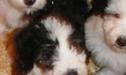 Beautiful Old English Sheepdog Puppies. Our puppies are family raised and very social. They are AKC registered and are up to date on vaccines and de-worming. *****All of the puppies from this litter have found new families. We are expecting a litter in