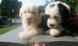 3 female 2 male Old English Sheep Dog puppies ready for a good home July 4th. Great markings, calm demeanor, excellent pet. Tails are bobbed, wormed, declawed and shots started. This is a one and only breeding of our family pet, puppies are raised with