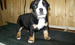 check out our website and watch the pups live. Pictures of Sire and Dam on there as well along with contact info. Please call emali or text with any questions. 5 available 2 males 3 females www.genesisoeb.com