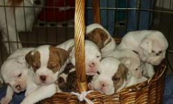 IOEBA Generational/Registered Olde English Bulldogge puppies/Selected Breeding/Litter of 8 only 4 left/12 Weeks/$1,000/HURRY/call 254-760-2989.