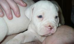 """6 wk old, IOEBA registered Olde English Bulldogge puppies. I have 2 males & 3 females that are mostly all white except for a spot or two on their face. The puppies' mother is from: """"Reaping Bulldogges"""" Spike & Luna's Baby The puppies' father is from:"""