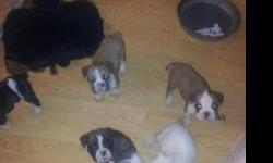 olde english bulldogge puppies 2 left. one male and one female with papers and vet certificate.. ready to go