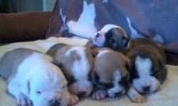 Olde English Bulldogge puppies for sale! Born 6/23 - 4 males & 2 females left! $300 deposit now to hold a pup and $600 due at pick up. Ready first weekend in August. IOEBA papers and will come with first shots/wormings. Can send pics. Call or text Heather