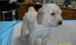 I have one gorgeous male cream color 7wk old standard poodle left for a great family! The mother comes from CH blood line. She is akc/ckc reg., and the father is ckc reg. So the puppy is ckc reg. The puppy has been wormed, and his first set of shots. He