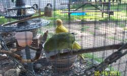 one male lutino ringneck and one female green ringneck,no cage and their not tame adult birds,she also only likes him $50.00 for both
