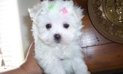 """only one left Female full Maltese pup.Dad and Mom are both reg.But are being sold with out papers as I would like to see her go to pet home only """"no breeders"""". As she will be to small for breeding.Her finish weight will be around 5lbs .Mom is 5lbs Dad is"""