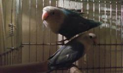 Sweet Hand fed, Hand tame Babies Double Violets, Blues, Green Red Faced & Orange Faced Available Very nice love bird, very genial A Rare Find NO Shipping buyer must pick up in Wichita, Kansas