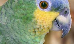 Orange-winged Amazon parrots are a wonderful pet bird because they are quiet and usually not as aggressive as some other types of Amazons. This is the second one we (Wings of Love, Inc. is a Missouri 501(c)(3) not-for-profit corporation) have taken in