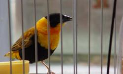 Birds are 1 to 2 years old, have not mated as they have not had correct materials for building a nest. Would do best in larger cage with no other finches as the male can be aggressive. Pictures only of male, female looks like a small brown sparrow.