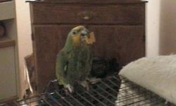 Orange Wing Amazon Bird, 4'x2' cage included. Very good with adults, but afraid of children. She talks and goes by the name Sara. Needs attention and a good home. Asking $500. Please call 217-213-4243 or 217-213-4309.