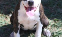 3 1/2 Month Female Puppy with the best pedigree you will ever see. Colby is the purest and oldest American Pit Bull Terrier blood in the world. The Colby family has bred this breed with love and devotion since 1889. True to the dogs of old. Loving,