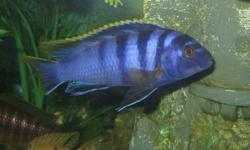 Looking For Quality Rare Cichlids? We Have Hundreds in Stock @ The Cichlid Stop - Exotic African Malawi Peacocks, Haps, Mbuna, South American, Tanganyikan and other Rare Cichlids. Fish ranging from $1 - $38 Over 20 Species Available with Wholesale