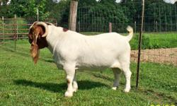 Six 9 Month Old Full CODI/PCI Boer Doe's. 1 Is A Red Paint. Five Are 2 Clean Teated. Four 9 Month Old Full CODI/PCI Boer Bucks. 2 Paints & 2 Tradiionals. All Are Well-Bred, Thick, Hardy South African Boer Goats. Great Prices, Great Pedigree's, & Disease