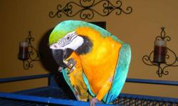 beautiful blue and gold macaws ready now for a good home We are a small family aviary located on the eastern shore . Our nursery is located inside our house where are babies are given lots of love and attention. All babies are hand fed and raised around