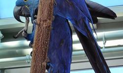 Pretty Hyacinth Macaw Parrots Parrots for sale.Very socialized and well tame.Vet checked and micro chipped.Health and medical certificates from our vet.DNA sexed unrelated male/female. Great talkers with much vocabulary.They whistle, sing and respond to