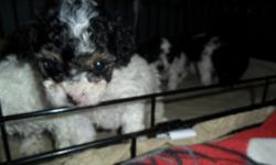I HAVE 4 BLACK/WHITE TINY GIRL PUPPIES FOR SALE. TWO HAVE THE PHANTOM MARKINGS LIKE THEIR MOM. VERY PLAYFUL AND SMART. EVERY ONE OF THEM ARE UNIQUELY MARKED. AKC REG. DEW CLAWS AND TAILS ARE DONE. HAVE THEIR FIRST SHOTS, NON SHEDDING. EXCELLENT FAMILY