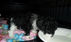 I HAVE ONE MALE BLK/WHT (TUXEDO MARKINGS), PARTI COLORED LITTLE MALE POODLE PUPPY. HE IS AKC REG. AND GORGEOUS! WILL BE A TINY TOY POODLE WHEN GROWN. HE IS READY TO GO RIGHT NOW.