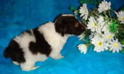 Parti Black/White - Chocolate/White , and Salt/Pepper parti's These are just Great Dogs, very loving and very loyal, Great with Children non shedding and hypoaligenetic, good dispositions . check out website for additional info , parents on sight,