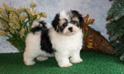 Minnie has the most precious cute face...she will be a knock out...Minnie is a real Cuties.....WOWZA Rare find Blakc and White Morkie PUP...AMAZING B/D Sept 6, 2010 were born Sept 06, 2010 She is out of Parti with Patches, a APRI Champion and Marcy