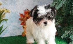 Mickey is WAY TO CUTE...he will be a knock out...Mickie is all boy!! .....WOWZA Rare find Blakc and White Morkie PUP...AMAZING B/D Sept 6, 2010 were born Sept 06, 2010 She is out of Parti with Patches, a APRI Champion and Marcy Girl......Patches is 3.75